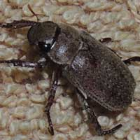 a large-eyed scarab beetle, Kenya, photo © Michael Plagens