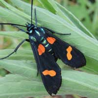 possibly an African Ctenucha-like moth, Kenya, Africa, photo © Michael Plagens