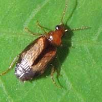 Foliage Ground Beetle