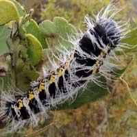 pallid emporer larva © Michael Plagens