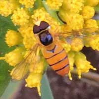 A Syrphidae hover fly photo © Michael Plagens