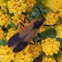 Net-winged Beetle, Lycidae, Kenya, photo © Michael Plagens