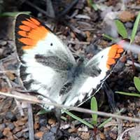Smokey Orange-tip Butterfly, Colotis euippe, © Michael Plagens