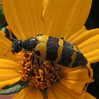 a flower eating blister beetle, Meloidae, © Michael Plagens