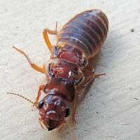 Wingless Cockroach, Blattodea, Kenya © Michael Plagens