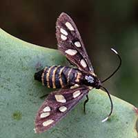 A wasp or clearwing moth from Olesossos, Kenya, Africa, photo © Michael Plagens