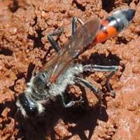 velvet ant, Mutilidae, © Michael Plagens