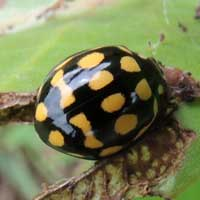 Coccinellidae with bright yellow spots from Kenya, photo © Michael Plagens