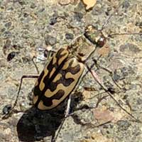 tiger beetle, Carabidae, Kenya, photo © Michael Plagens