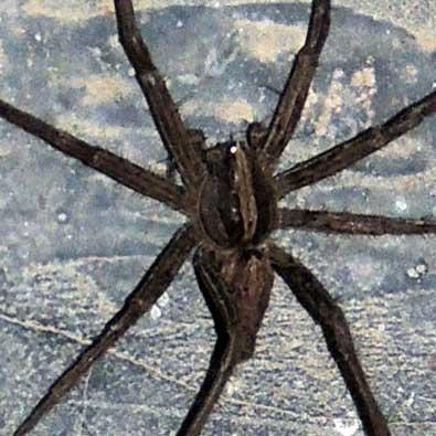 Pisauridae spider, Baringo, © Michael Plagens