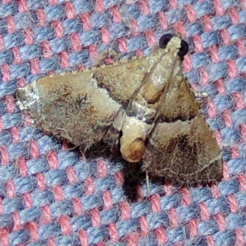 possibly pyralidae moth, Kenya, Africa, photo © Michael Plagens