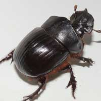a bulldozer dung beetle, Copris, Scarabaeidae, Kenya, photo © Michael Plagens