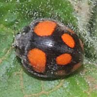 Coccinellidae with bright  spots from Kenya, photo © Michael Plagens