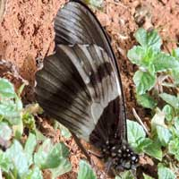 Amauris species, Nymphalidae:Danainae, © Michael Plagens