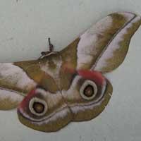 Nudaurelia silk moth Saturniidae © Michael Plagens