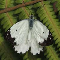African White Butterfly, Belenois sp., © Michael Plagens