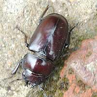 stag beetle female Lucanidae © Michael Plagens