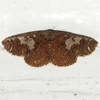 Handsome Geometridae moth © Michael Plagens