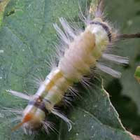 Arctiidae moth larva © Michael Plagens