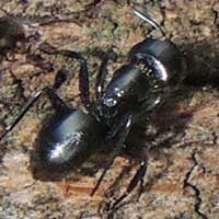 a carpenter ant, Camponotus sp., photo © Michael Plagens