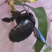 Xylocopa Carpenter Bee © Michael Plagens