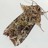 f. Noctuidae, © Michael Plagens