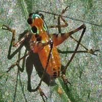 A katydid nymph, Tettigoniidae, Kenya, Africa, photo © Michael Plagens
