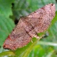 Pyralidae moth © Michael Plagens