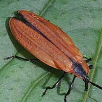 a large net-winged beetle, Lycidae, Kakamega, Kenya, photo © Michael Plagens