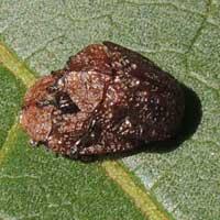 d chrysomelid beetle © Michael Plagens