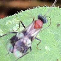 a Ichneumon Wasp, Ichneumonidae, © Michael Plagens