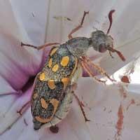 Blister Beetle, Meloidae, Kenya, photo © Michael Plagens