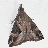 snout moth, Crambidae, © Michael Plagens