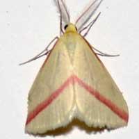 Rodometra? Geometridae Moth from, Kenya, Africa, photo © Michael Plagens