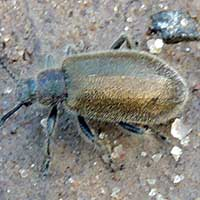 ground dwelling beetle covered with short setae, Tenebrionidae, Kenya, photo © Michael Plagens
