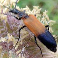 a Soldier Beetle, family Cantharidae, from Machakos, Kenya, photo © Michael Plagens