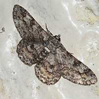 possibly Cleora, a Geometridae moth, Kenya, Africa, photo © Michael Plagens