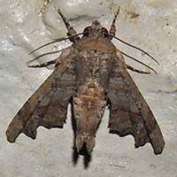 Eutellidae moth Kenya, Africa.