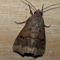 Noctuidae moth from Kirinyaga © Michael Plagens