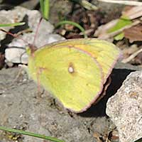 African Yellow Butterfly, Colias sp., © Michael Plagens