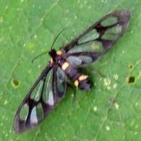 Syntomini, f. Arctiinae, © Michael Plagens