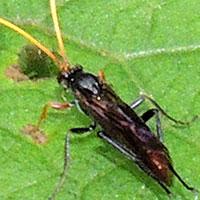 Ichneumon Wasp © Michael Plagens