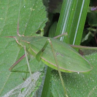 A leaf-like cricket, Tettigoniidae, from Eldoret, Kenya, Africa, photo © Michael Plagens