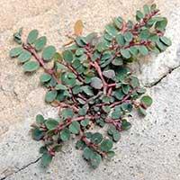 Euphorbia sp. photo ©