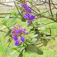 Glory Bush probably Tibouchina multiflora photo © Michael Plagens