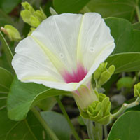 A xerically-adapted Morning-glory, Ipomoea spathulata, from scrublands in Kenya photo © Michael Plagens