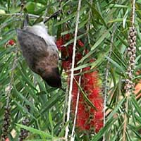 Australian import, weeping bottle brush photo © Michael Plagens
