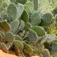 non-native Prickly Pear, Opuntia, photo © Michael Plagens