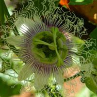 cultivated purple passion fruit, Passiflora edulis, photo © Michael Plagens
