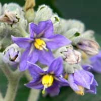close-up of flowers, Solanum mauritianum, photo © Michael Plagens